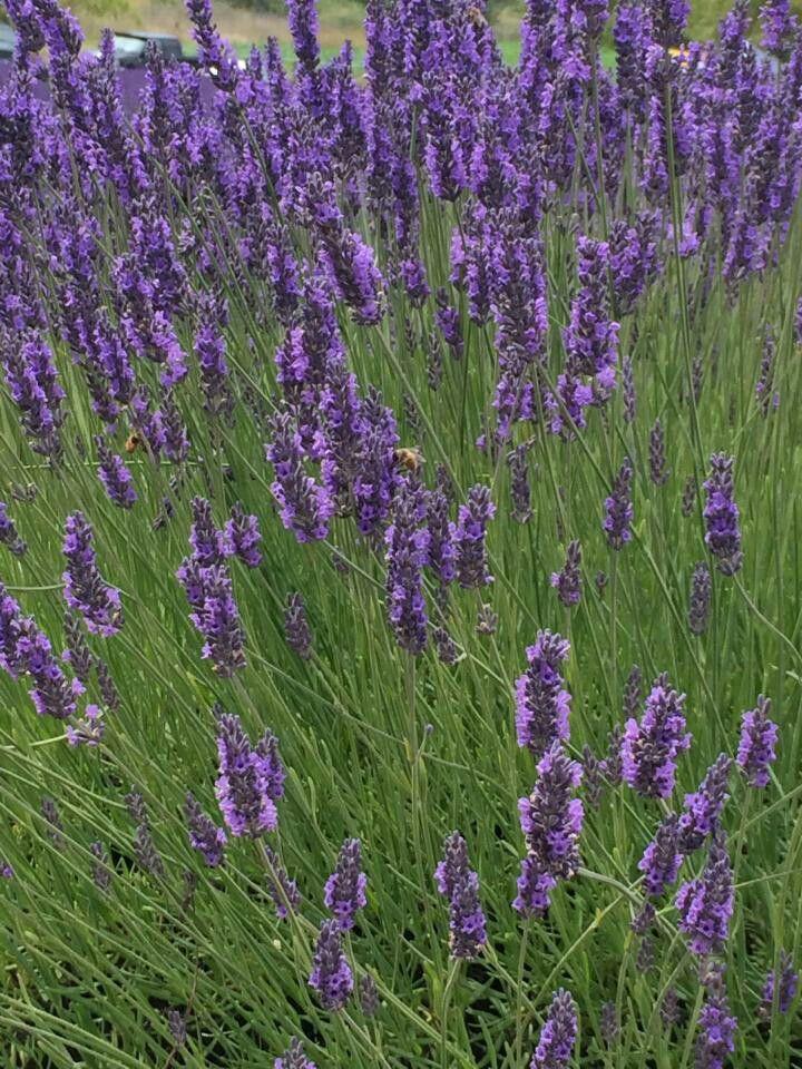 Ahhhhhhhhhhhsome. ..Lavender Fest