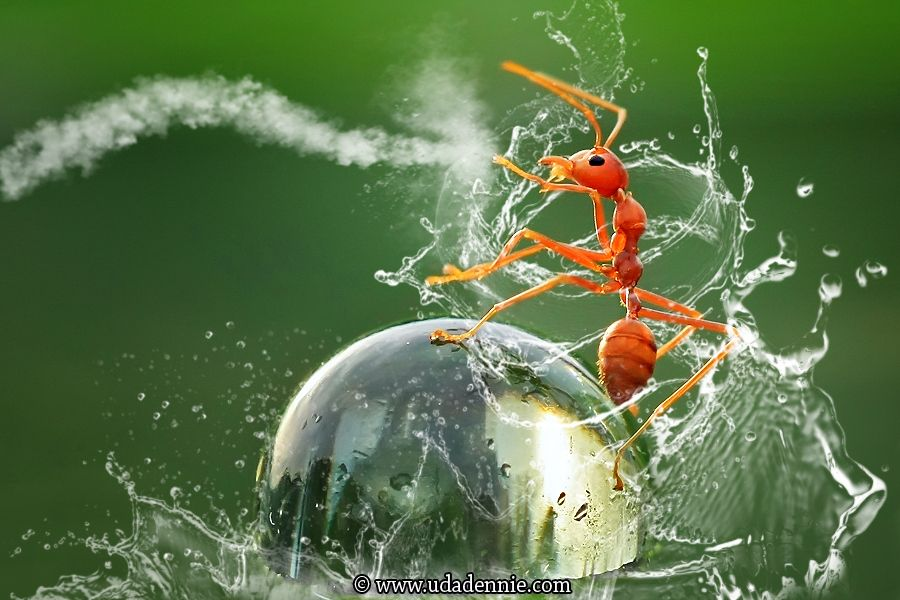 """Kungfu Ant"" by Uda Dennie. ... A red ant takes a surprise ride on the back of a water droplet."