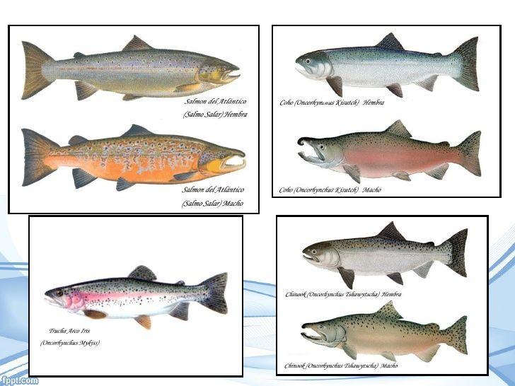 Clasificación Taxonómica (Linnaeus, 1758)• Tipo Chordata•…   Pesca ...