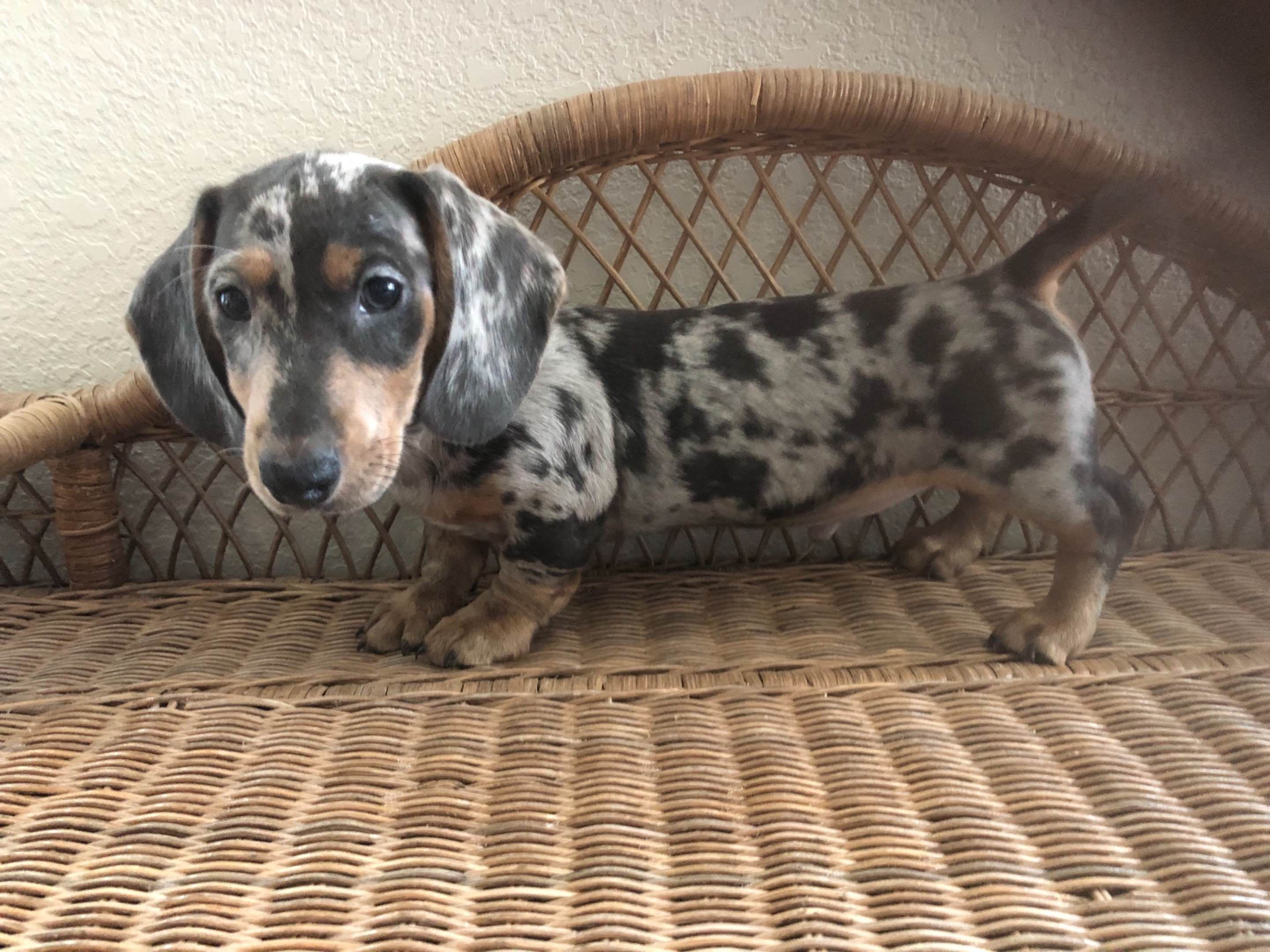 Doxidandi Has Dachshund Puppies For Sale In Sublimity Or On Akc