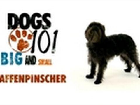 Dogs 101 Affenpinscher Youtube Dogs 101 Affenpinscher Dog