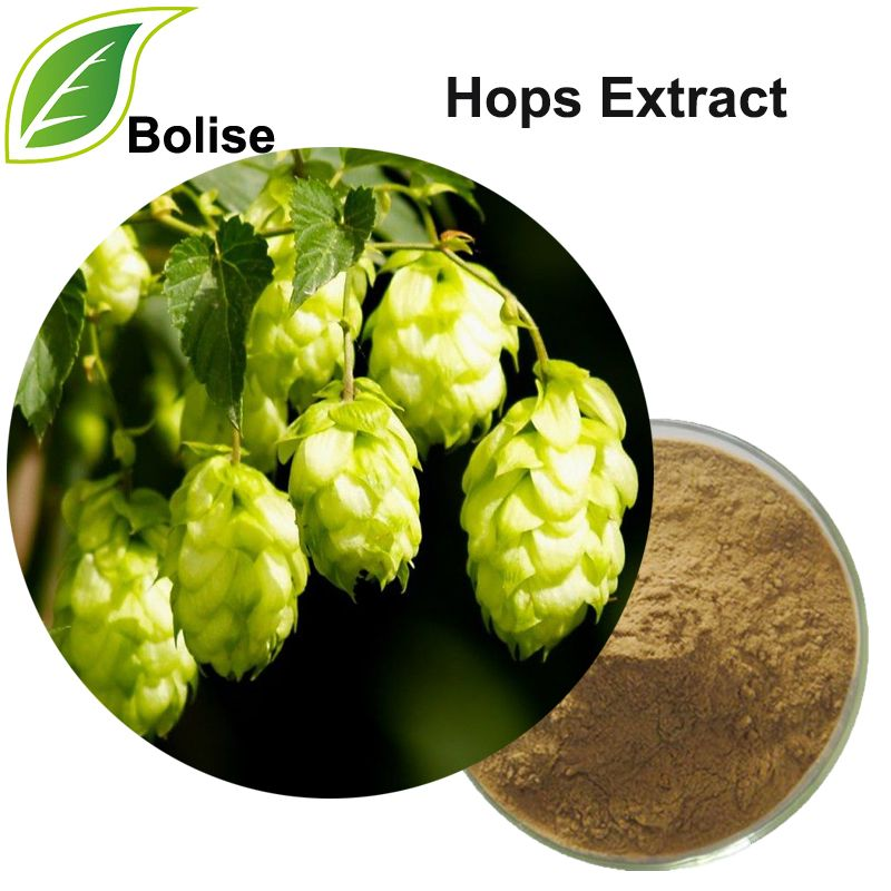 Hops Extract Hops Extract Hops Plant Herbalism