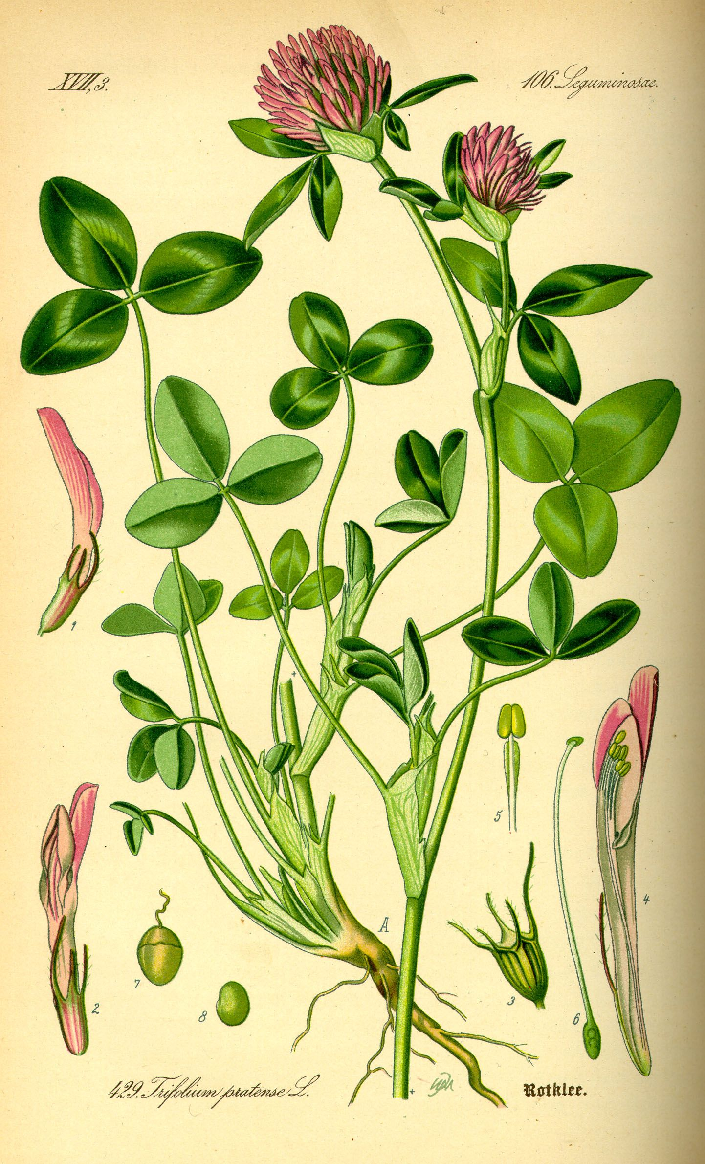 Clover pink: medicinal properties and methods of harvesting a useful plant