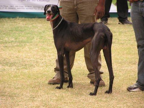 Mudhol Hound Caravan Hound Pashmi Karwani Dogs Rare Dog