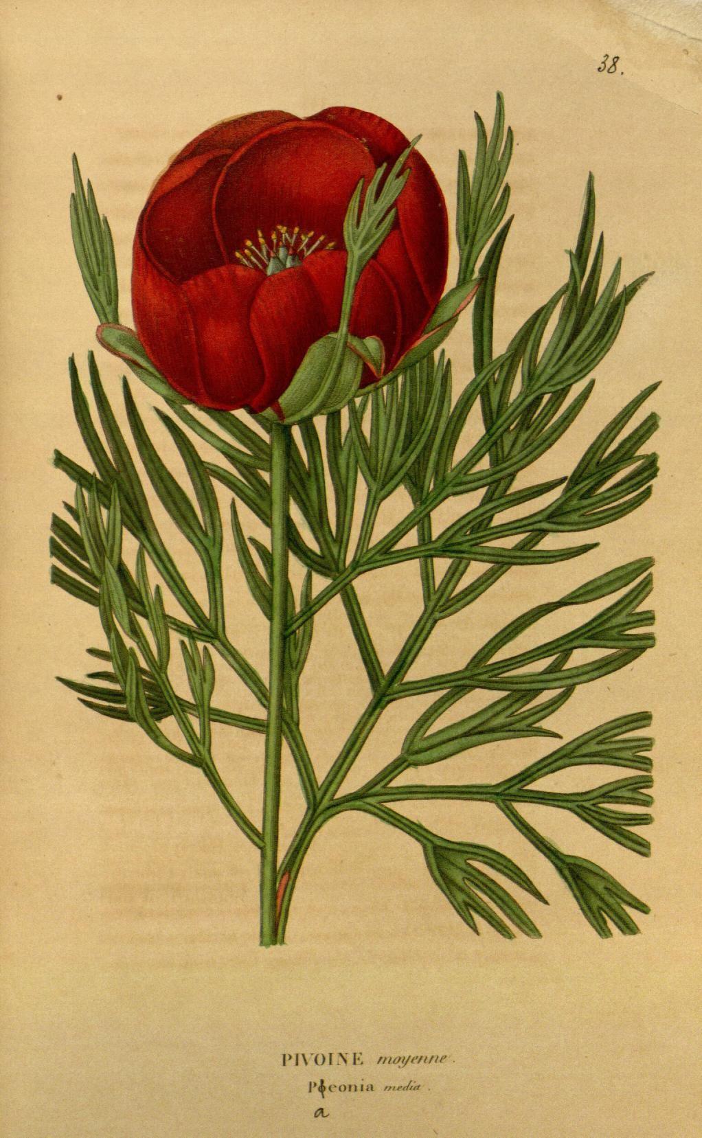 ser.2:v.1 (1842-1843) - Annales de flore et de pomone : - Biodiversity Heritage…