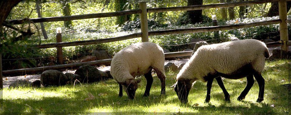 sheep in the pasture Google Search Oak creek canyon
