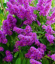 Crepe Myrtle Plants