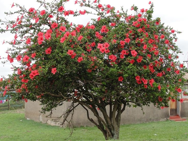 Images Of Hibiscus Trees In Backyard Google Search Growing
