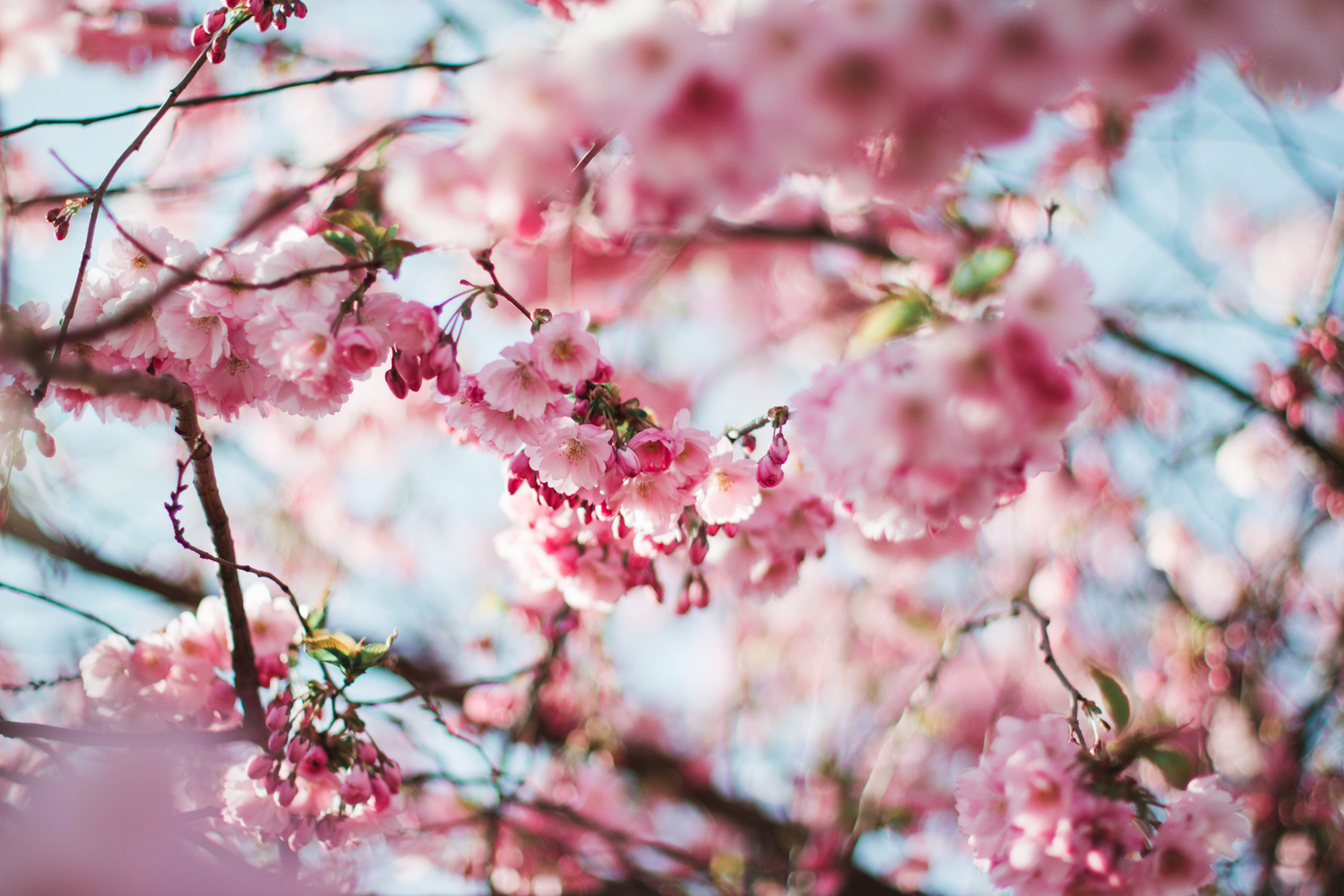 The Significance Of The Cherry Blossom Tree In Japanese Culture Goes