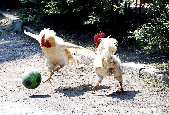 rooster united