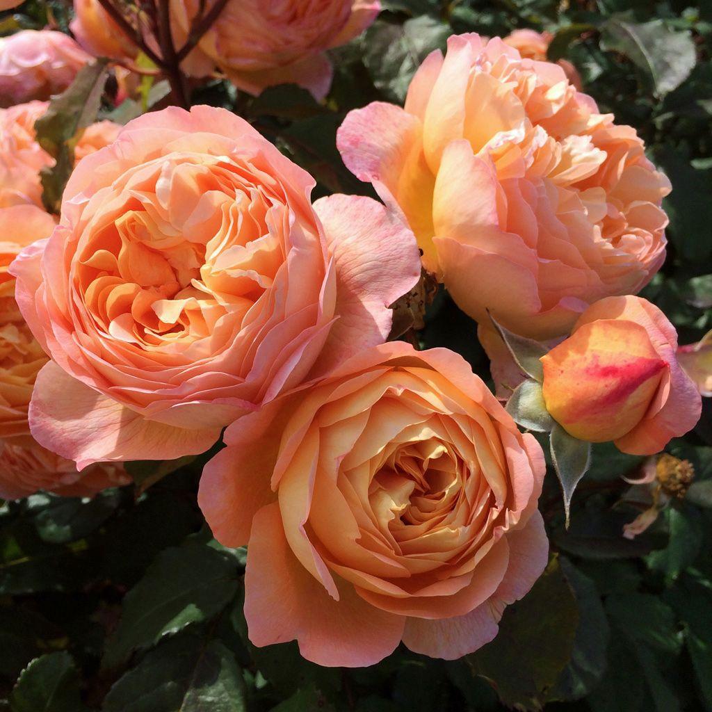 English rose gallery: Rosa 'Lady Emma Hamilton' | English roses ...