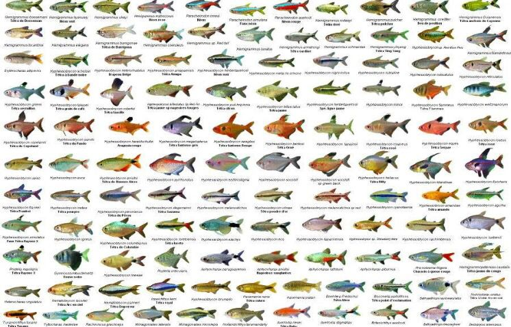 Tetras Tetra Fish Fish Chart Aquarium Fish