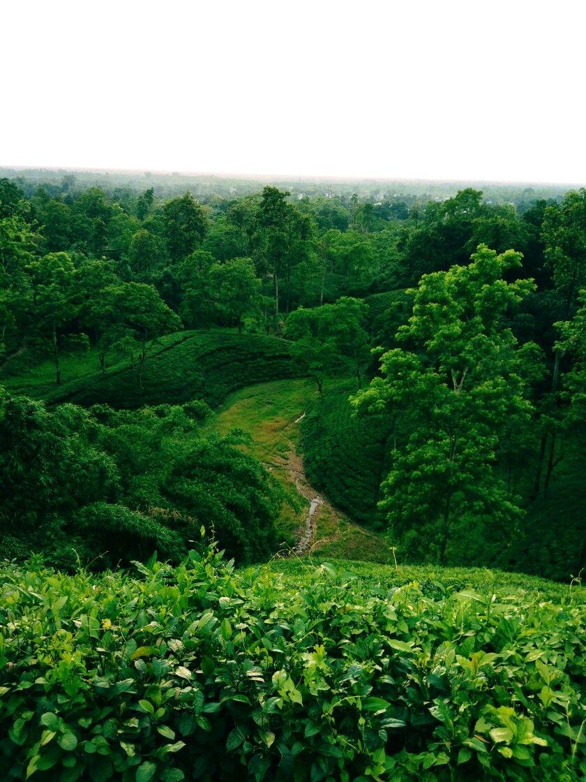 GreenForestTreesTea Garden Assamwallpaper Tea