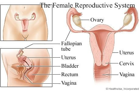 Major components of the female reproductive system are; the ovaries ...