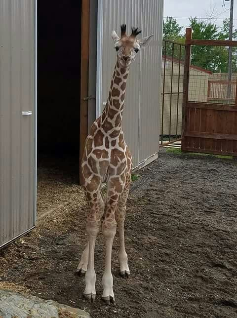 Tajiri April The Famous Giraffe S Baby Boy Born In April 2017 To Oliver Dad April Animal Adventure Park Giraffe Pictures Baby Giraffe