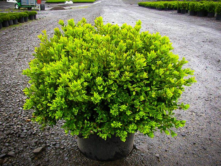Green Velvet Boxwood Green velvet boxwood, Boxwood