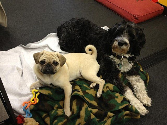 Benny The Pug And Darcy The Cockapoo Mix Live The Good Life While
