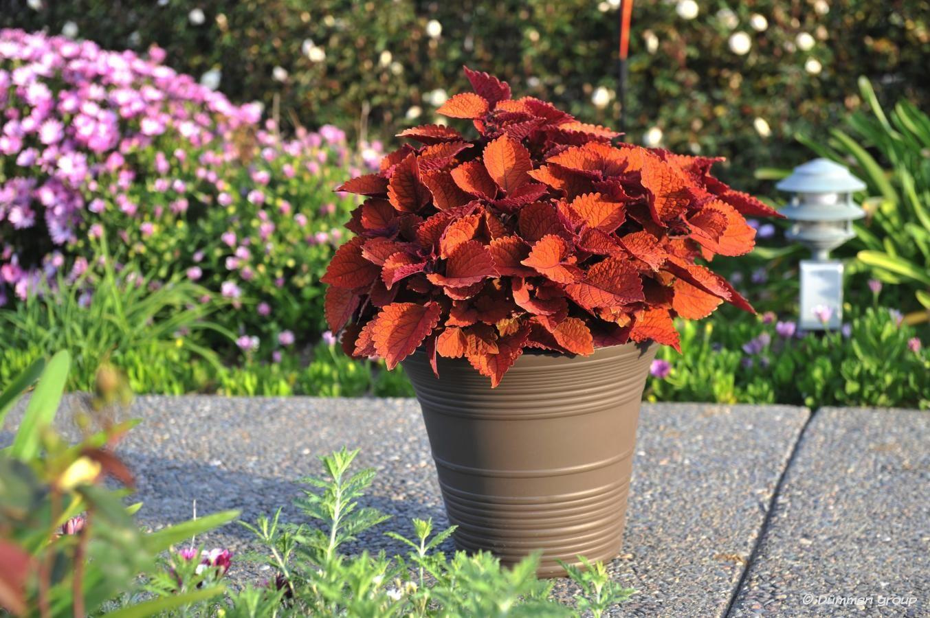 Coleus (54 Foto): Pestré rastlín na výzdobu domov a Záhrada
