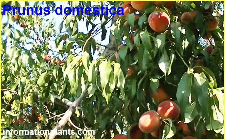 انواع الخوخ او البرقوق Prunus قائمة الفواكهة النبات معلومان عامه معلوماتية Grapes Prunus Plum