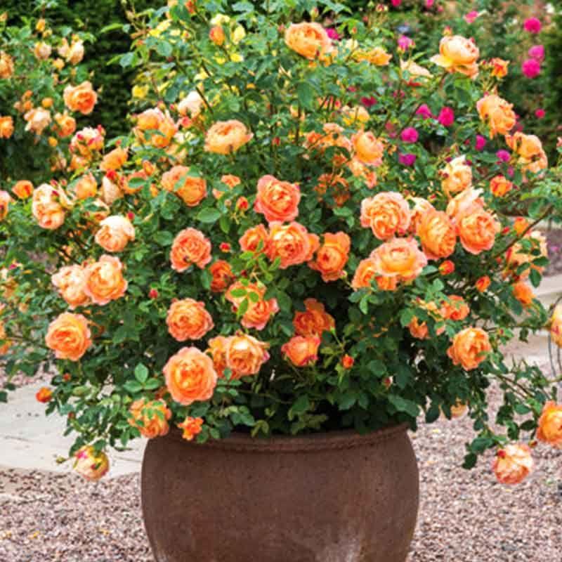 Pleomele Song Of India Green Plant In 2020 English Roses Shrub Roses Climbing Roses