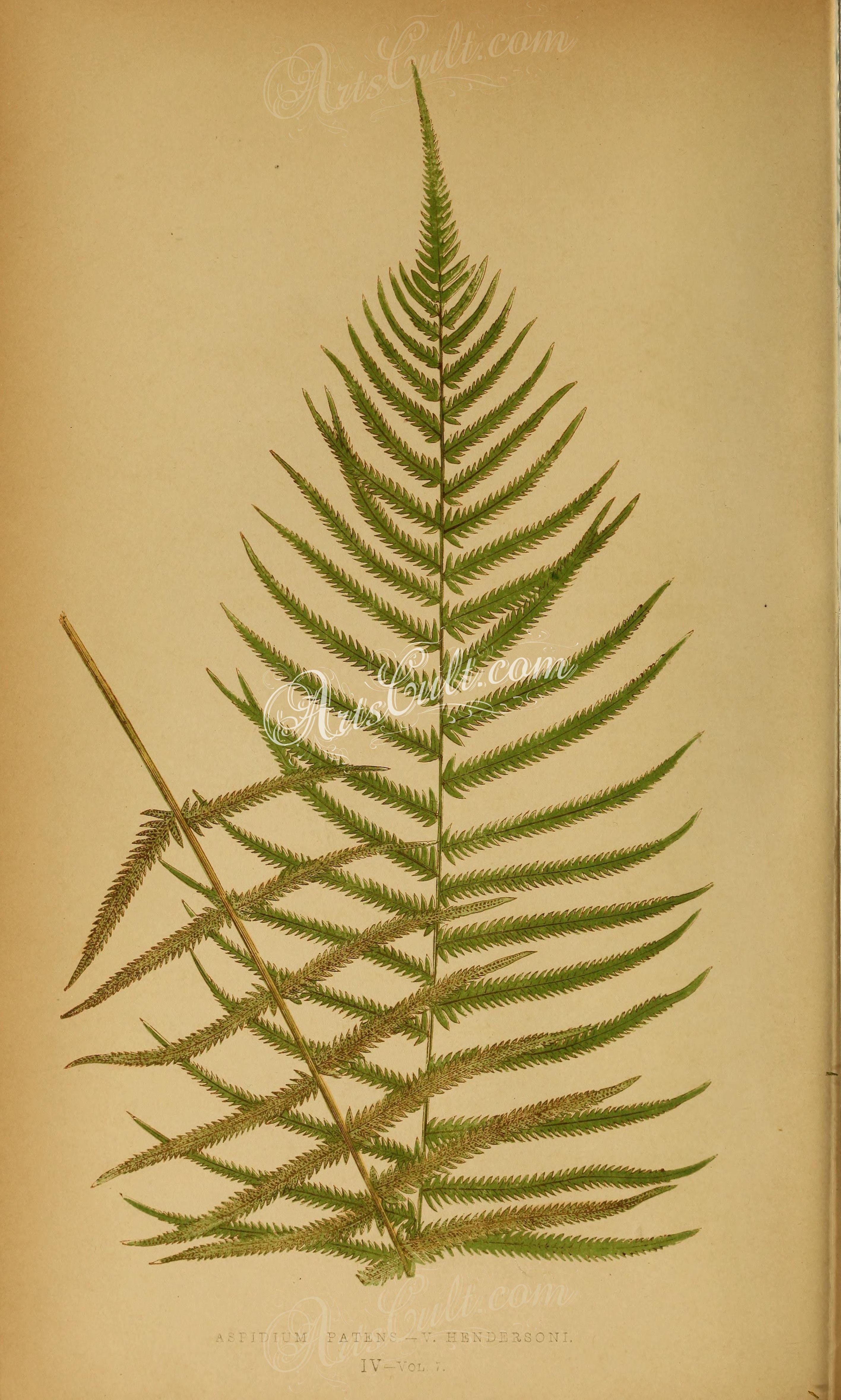 aspidium patens hendersoni (L)   ...