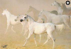 Saudi Aramco World 2011 Calendar Arabians Beautiful Horses White Horses Pretty Horses
