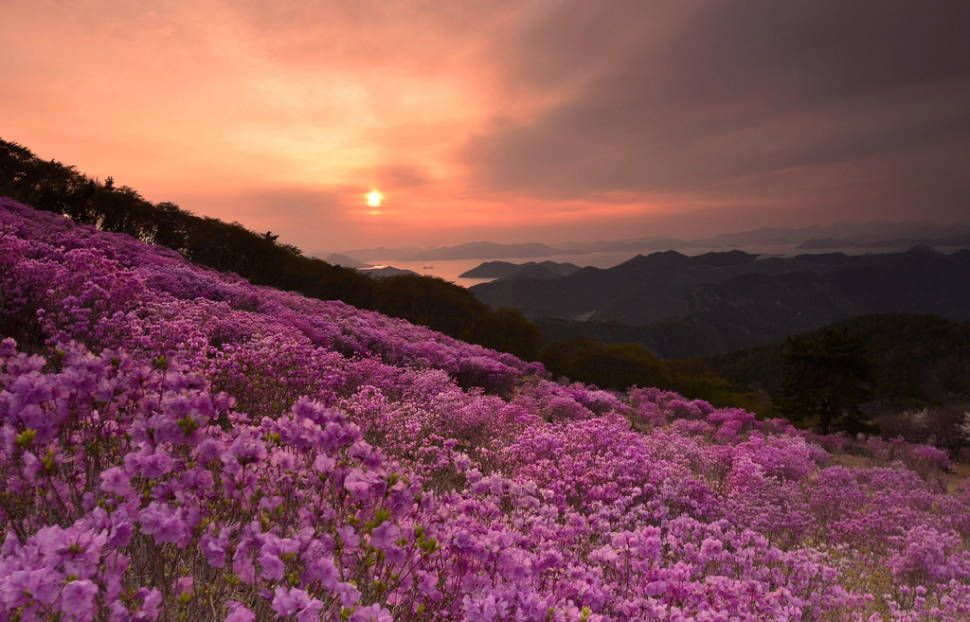 Best Time To See Azaleas In South Korea 2020 When Where To See In 2020 Azaleas Azalea Flower Flower Garden