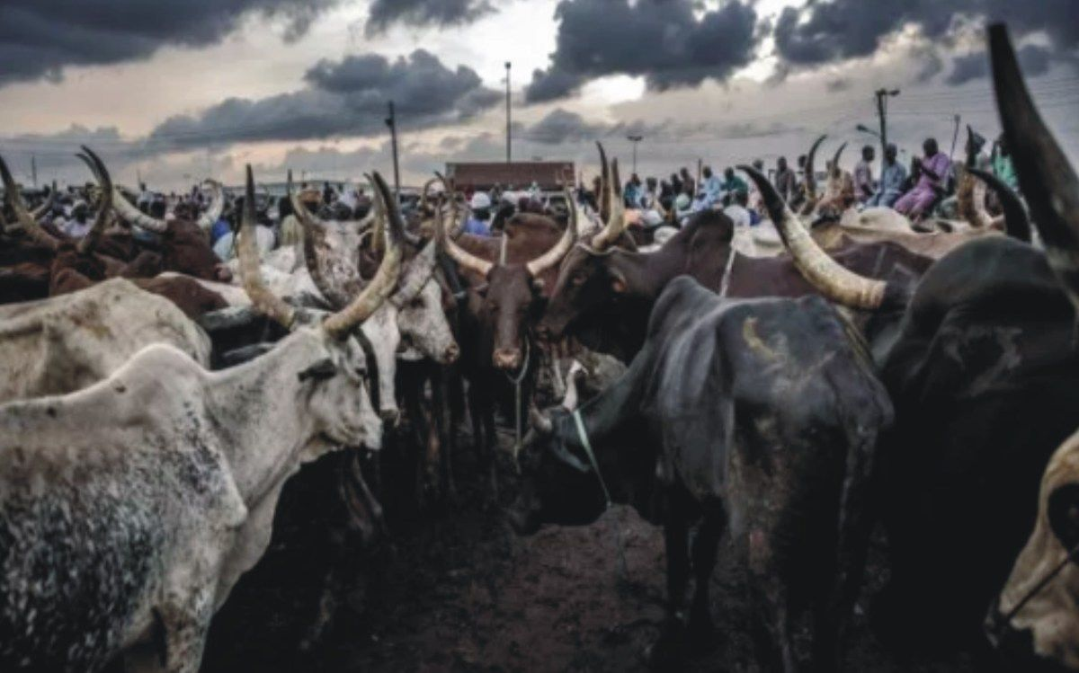CATTLE FARMING BUSINESS PLAN IN NIGERIA PDF (With images
