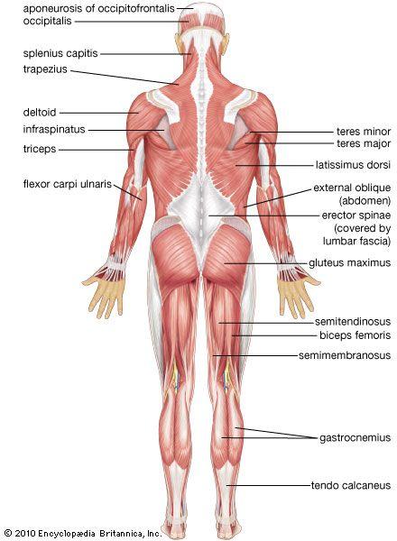 human muscle system | Biology class | Pinterest | Muscles, Human ...