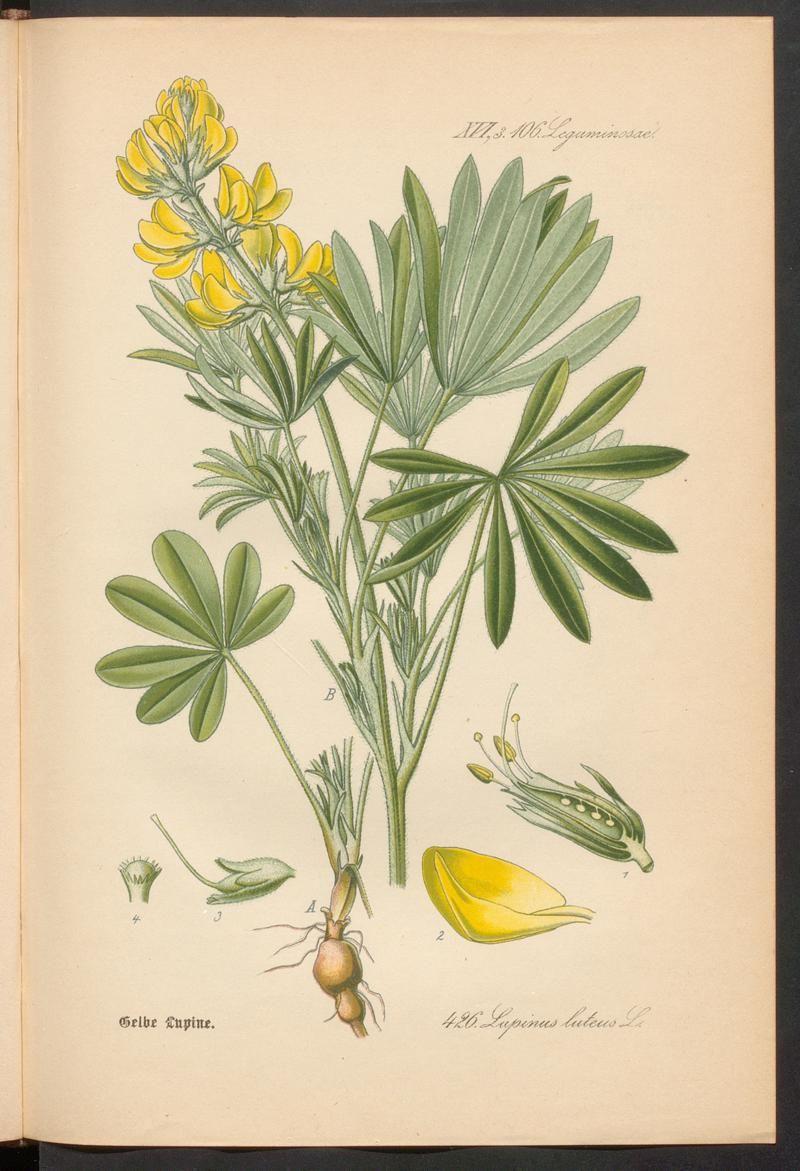 Prof. Dr. Thomé's Flora von Deutschland, Österreich und der Schweiz in Wort und Bild. Yellow lupins, Rar 3635.