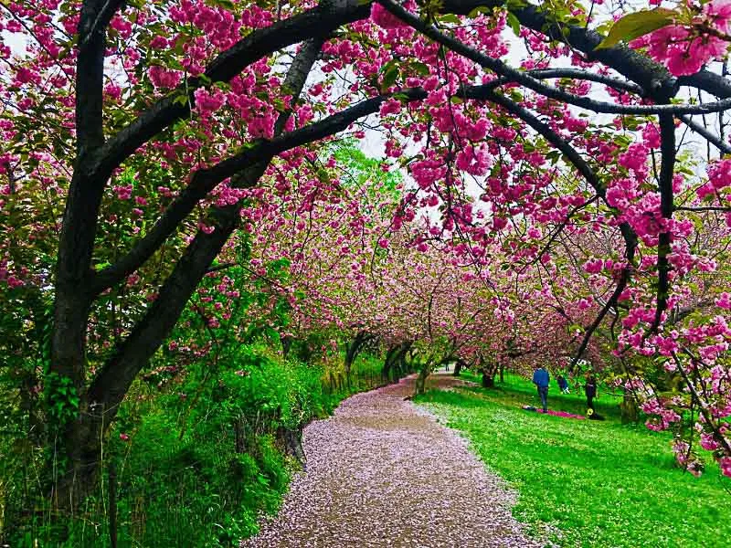Best Places To See Cherry Blossoms In The Spring Places To See Japanese Garden Cherry Blossom
