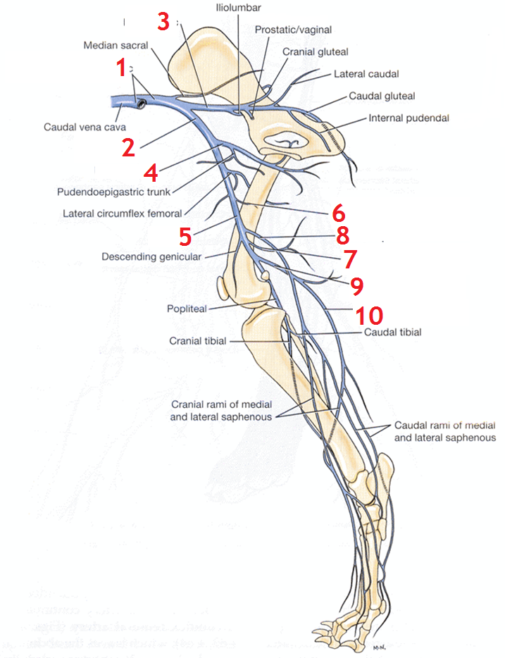 image veins for term side of card | anatomy | anatomy by Dmitrijs ...