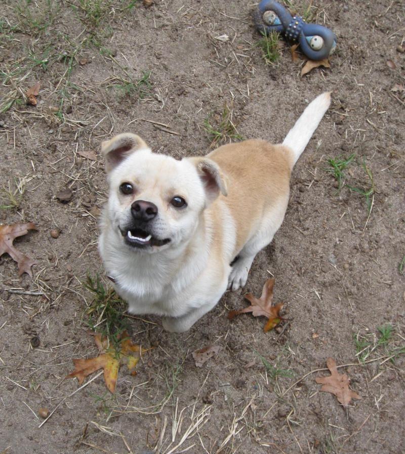Adopt Linguini On Dogs Pets Chihuahua