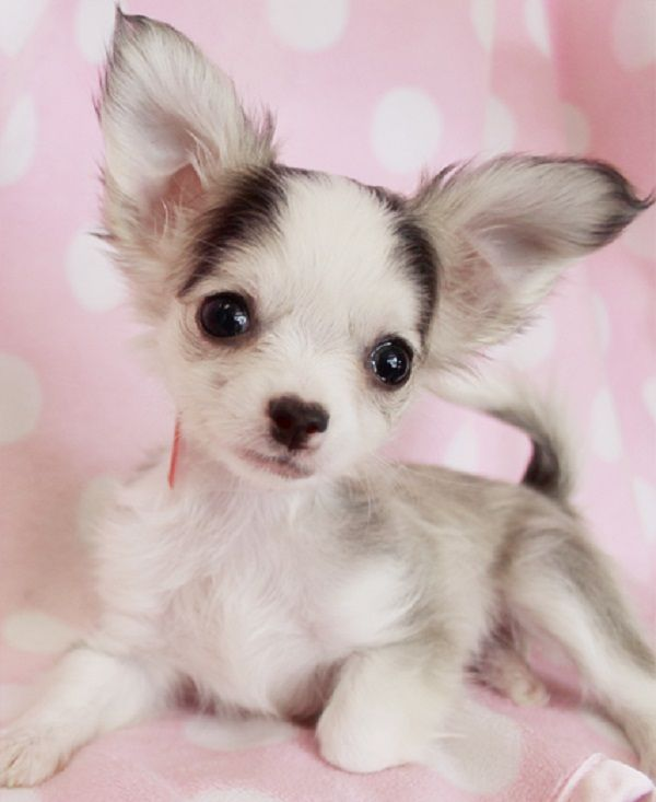 Chihuahua Baby Mix Head Deer Apple Head And