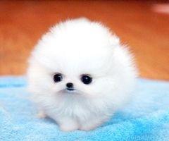 Ooh little puffball puppy Cute animals, Cute baby