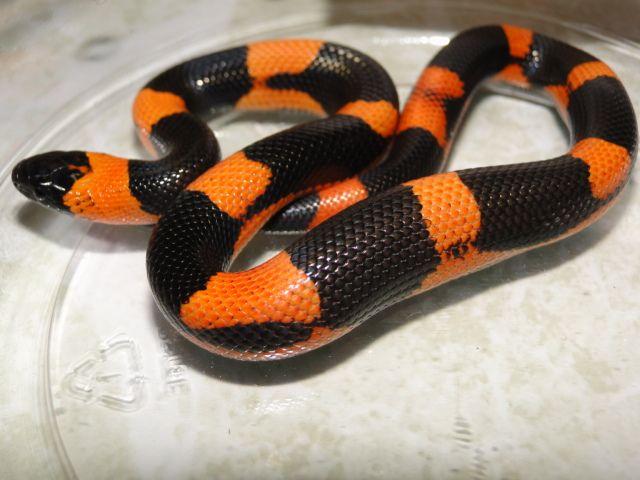 Super Halloween Milksnake | just pictures of snakes | Snake, Milk