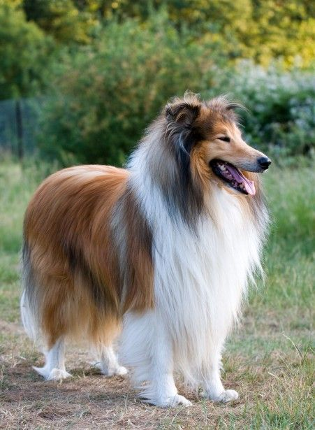 Beautiful Rough Collie Dog Dog Breeds Collie Dog