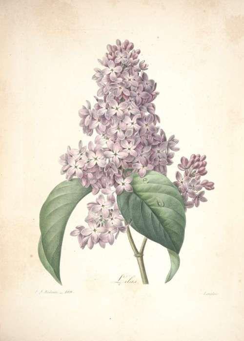 Scientificillustration The Common Lilac Syringa Vulgaris L Redoute P J Choix Des Plus Belles Flower Prints Art Botanical Art Vintage Botanical Prints