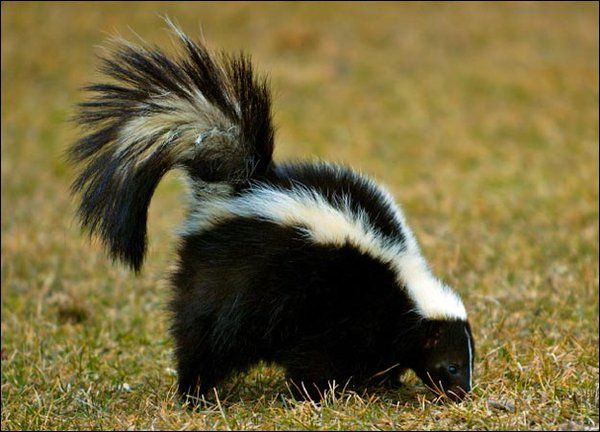 Best Stay At Least This Far Away Skunks Stinky Fluid Can Be