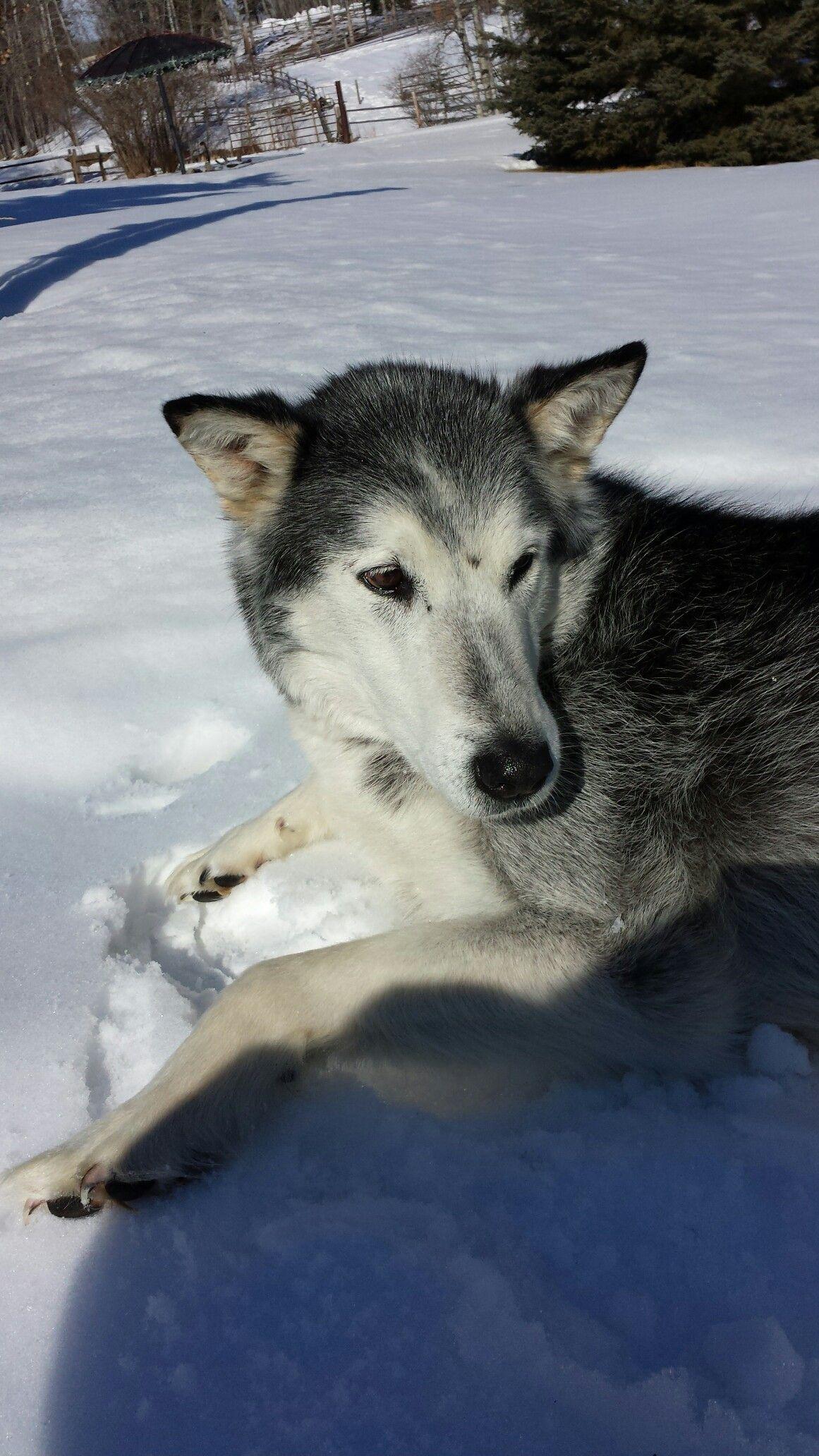 Our Scout Half Husky Half Wolf Siberian Husky Husky Wolf Husky