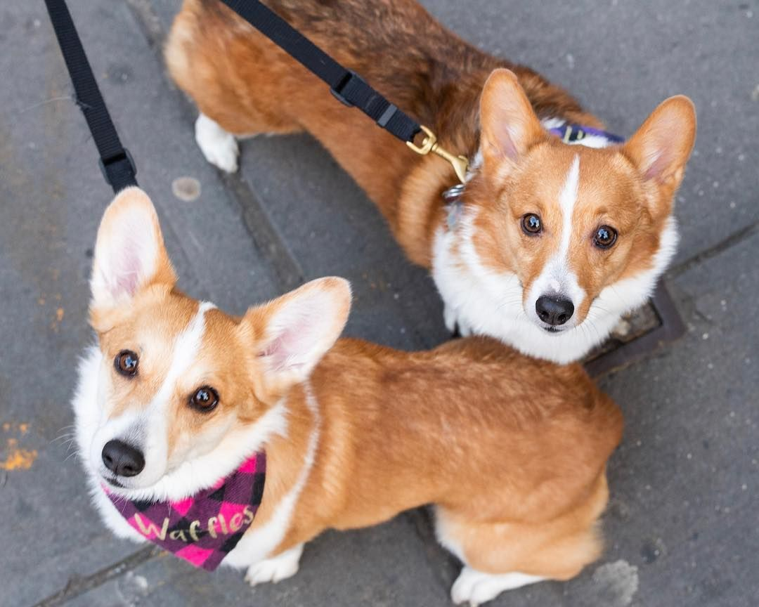 The Dogist On Instagram Biscuit Waffles Pembroke Welsh Corgis