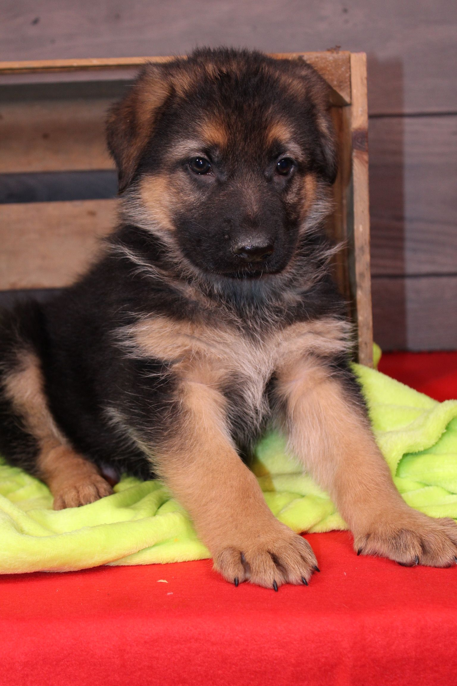 Denver a male AKC German Shepherd puppy for sale in