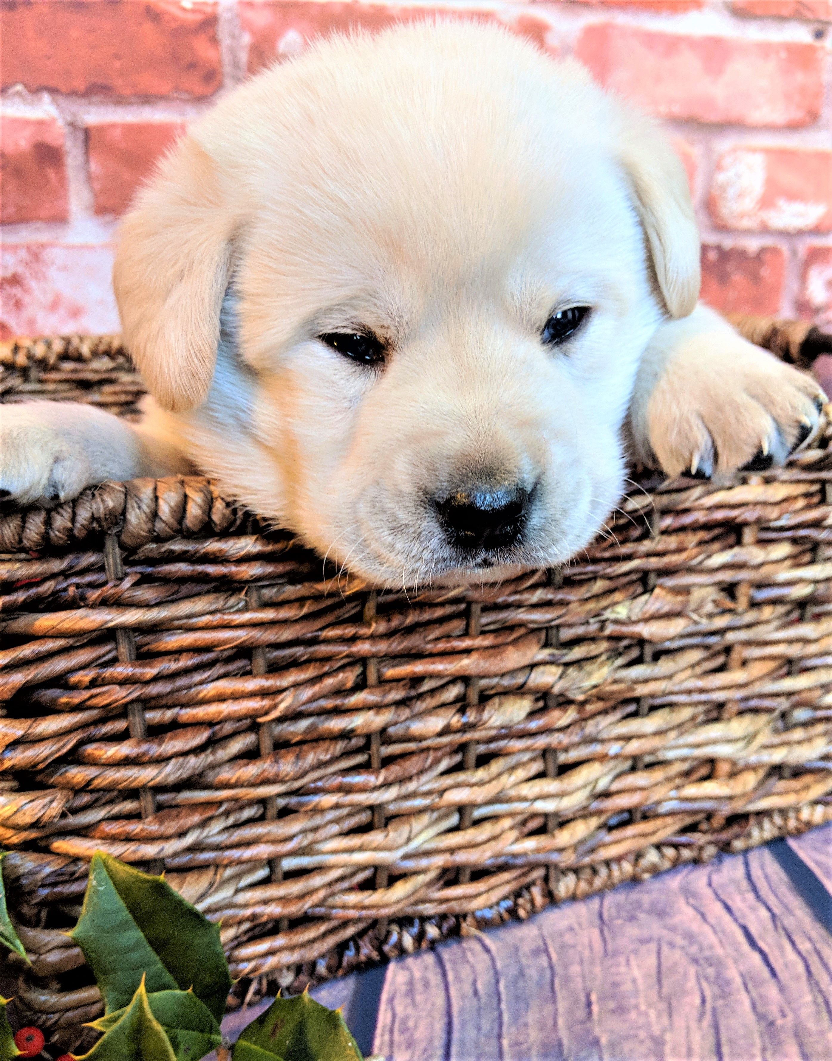 Yellow Lab Yellow Labrador Puppy Puppy Yellow Lab Puppy Male Yellow Lab Puppy Lancaster Pa Puppies For Sale Puppies Cute Cats And Dogs Yellow Lab Puppy