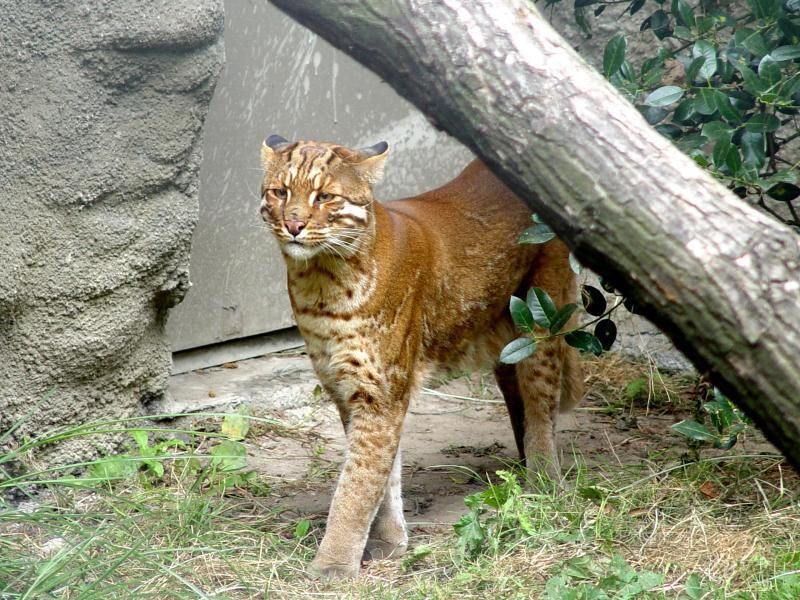 Asian Golden Cats are so cool looking Small wild cats