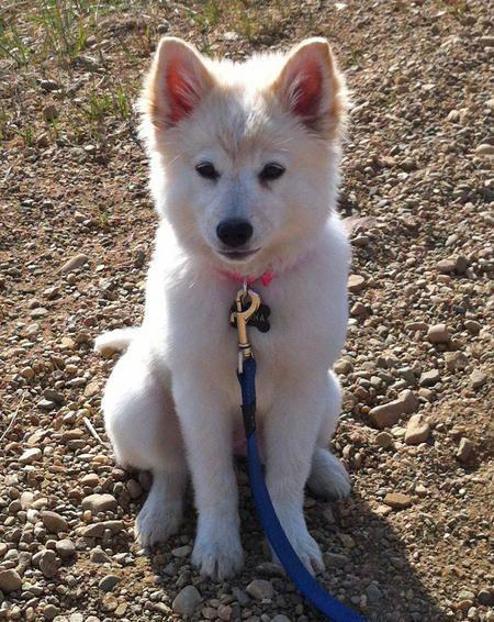 Keena The American Eskimo Dog Anatolian Shepherd Dog