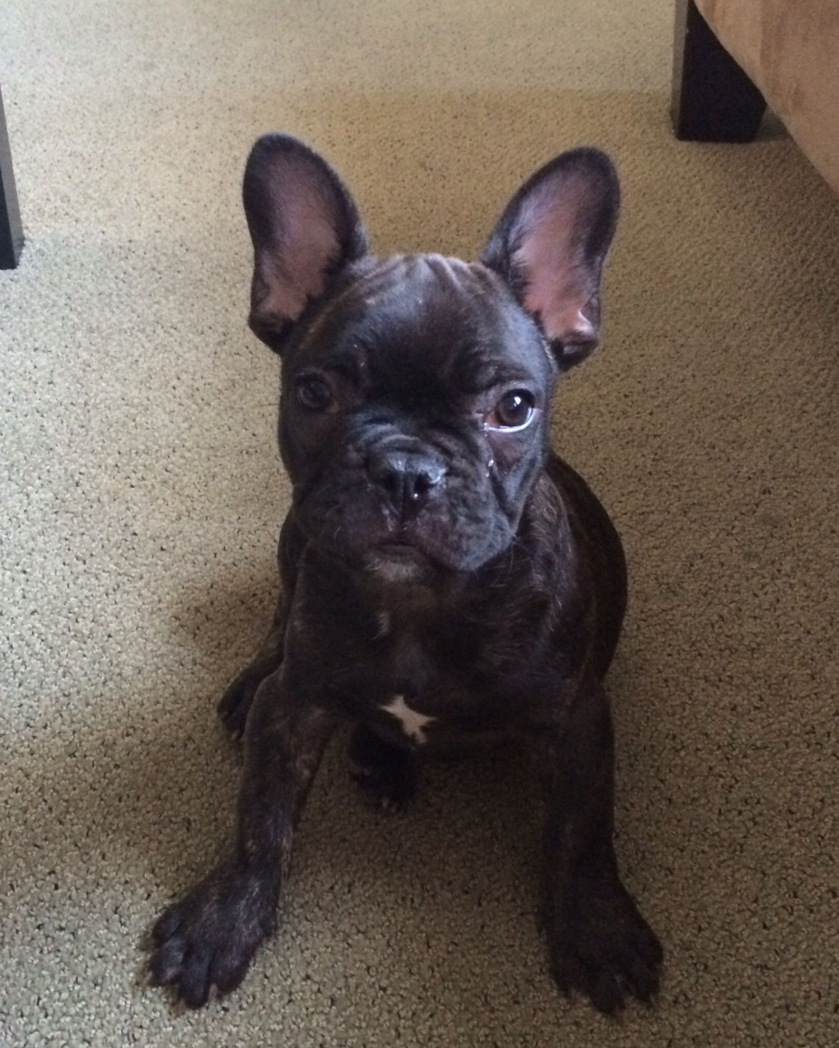 Frankie Beans The French Bulldog Puppy Bulldog Puppies French