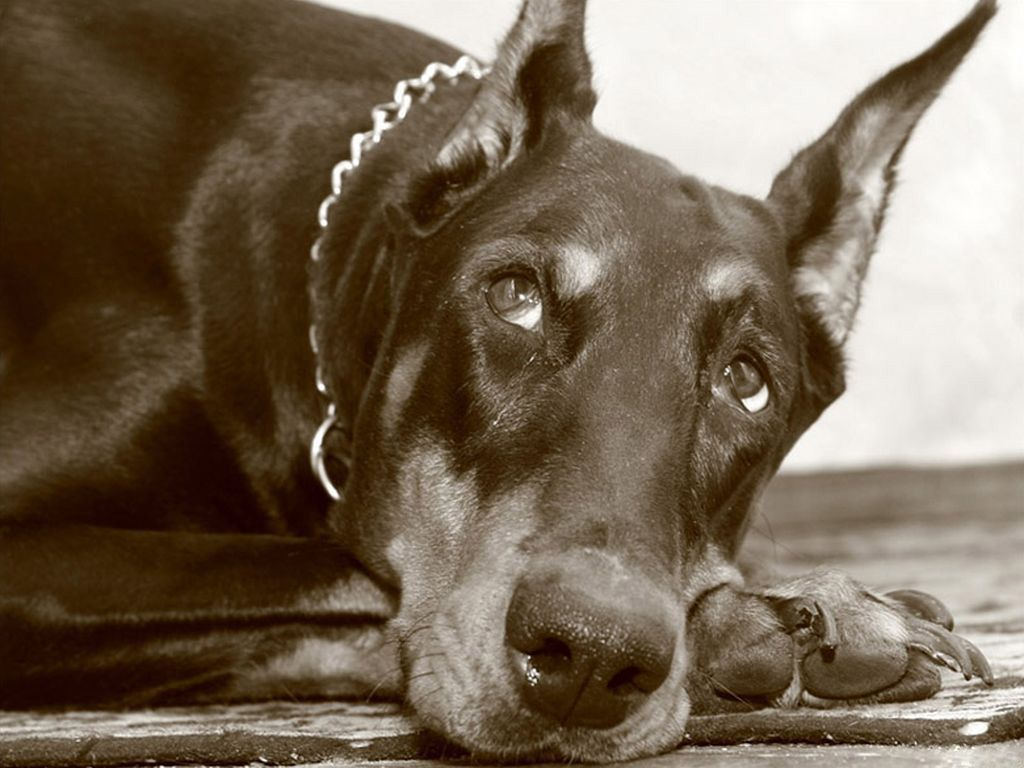 Pictures Doberman Free Pictures And Wallpapers Wallpapers Pictures