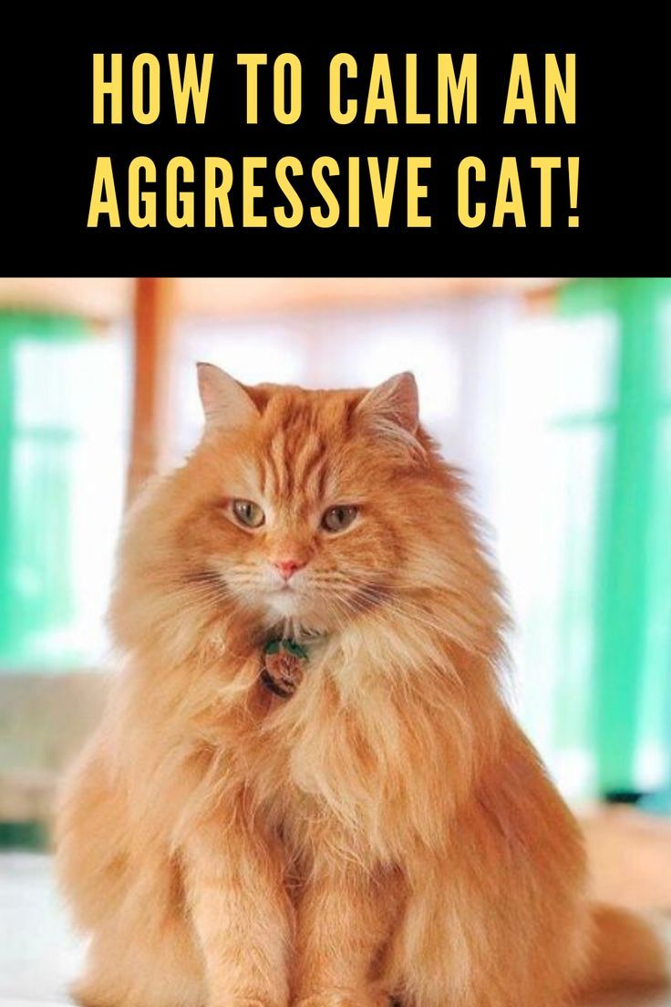 How To Calm An Aggressive Cat! Cats, Cat advice, Funny cats