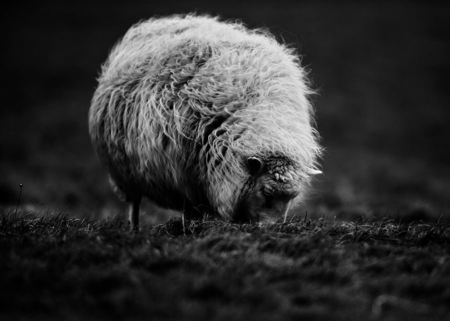 Icelandic sheep eating grass in the wind.  Copyright Hrannar Hauksson