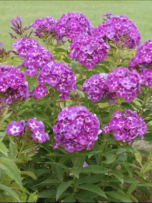 Tall Garden Phlox Laura From Walters Gardens Inc With Images